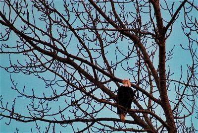 Eagle by Carole May
