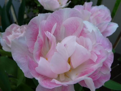 2009 Angelique Tulip