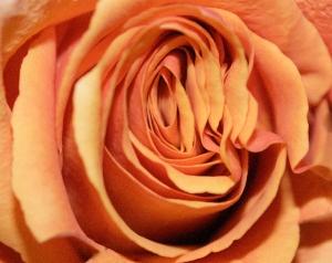 Rose © Carole May