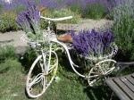 Lavendar Festival 2009 Cedarbrook Bike