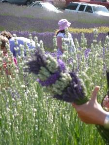 Lavender Festival 2009 Purple Haze Bunch