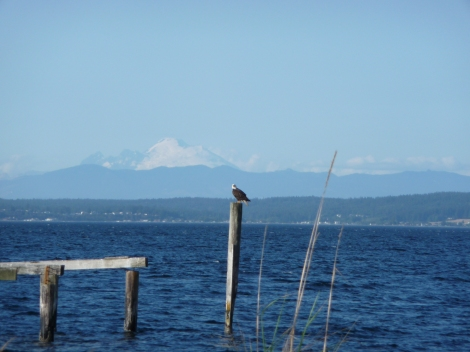 An eagle in Hansville, WA along the Strait of San Juan de Fuca.  That's Whidbey Island and Mt. Baker in the background.