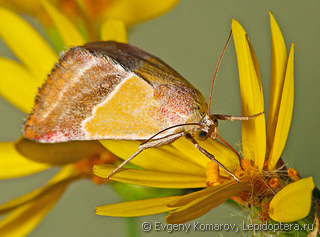 Pannonica Moth