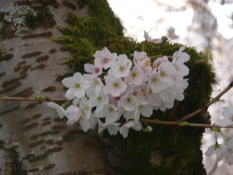 BlossomCherry