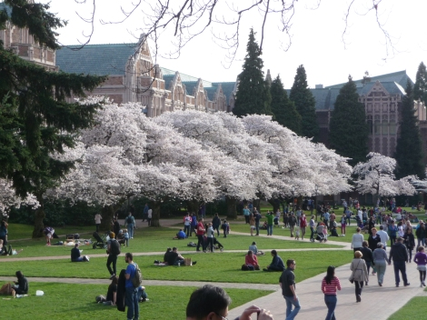 Cherry Trees at the University of Washington