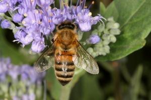 SKL Bee