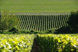 Tarlant vineyards