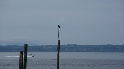 Bald eagle near the ferry dock in Edmonds