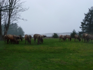 Elk herd near Seaside, OR