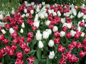 Charmeur and White Dream tulips