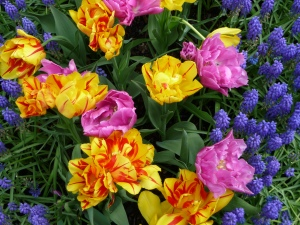Muscari and Double Price and Monsella tulips