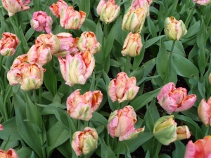 Salmon Parrot tulips