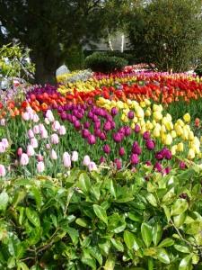 Tulips 15
