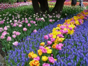Tulip sea of Muscari and Double Price (pink) and Monsella (yellow/red) tulips